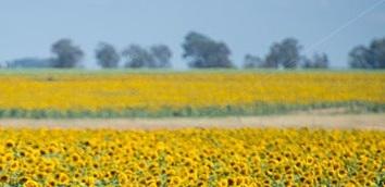 bloemfontein-south-africa-sunflower-helianthus-farm-ewt6b0